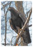 20121121 - 1 592 Golden Eagle.jpg