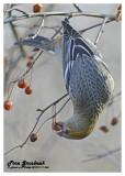 20121117 365 Pine Grosbeak.jpg