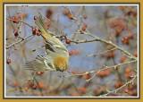 20121120 028 Pine Grosbeak.jpg
