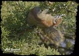 20121116 118 SERIES - Red Squirrel.jpg