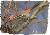 20121126 154 Pine Grosbeak.jpg