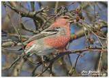 20121126 265 Pine Grosbeak.jpg