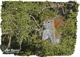 20121116 098 SERIES - Red Squirrel.jpg