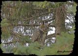 20121112 465 Great Horned Owl HP.jpg