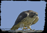 20121026 1398 Red-tailed Hawk.jpg