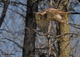 20120430 237 Red-tailed Hawk.jpg