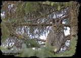 20121112 434 Great Horned Owl 1r1.jpg