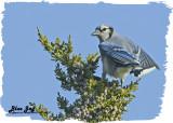 20121116 139 Blue Jay.jpg