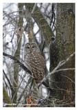 20121214 071 Barred Owl.jpg
