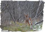 20121207 139 White-tailed Deer.jpg