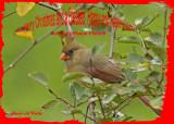 20121006 304 Northern Cardinal 1r3.jpg