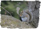 20121120 364 Eastern Gray Squirrel.jpg
