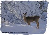 20121228 081 White-tailed Deer.jpg