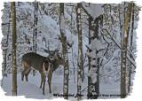 20121228 137 White-tailed Deer2.jpg