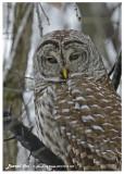20121214 128 Barred Owl 1c1.jpg