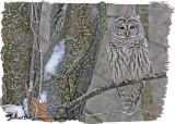 20121214 237 Barred Owl HP.jpg