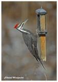20121211 142 Pileated Woodpecker.jpg