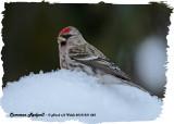 20121231 083 Common Redpoll.jpg