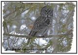 20130109 052 041 Great Gray Owl.jpg