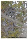 20130109 030 Great Gray Owl.jpg