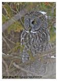 20130109 038 Great Gray Owl.jpg