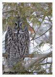 20130109 011 017 Great Gray Owlx.jpg