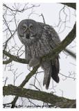 20130112 272 Great Gray Owl.jpg