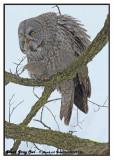 20130112 258 Great Gray Owl 1r1r1a.jpg