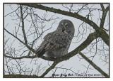 20130112 403 Great Gray Owl 1r1.jpg