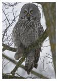 20130112 239 Great Gray Owl2r1.jpg