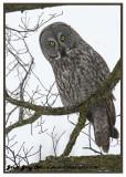 20130112 349 Great Gray Owl.jpg