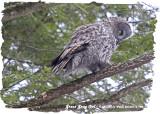 20130116 180 Great Gray Owl.jpg
