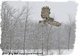 20130119 009 Great Gray Owl.jpg