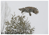20130119 311 Great Gray Owl.jpg