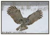 20130119 103 SERIES -  Great Gray Owl2.jpg