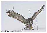 20130119 547 Great Gray Owl 1r1c1.jpg