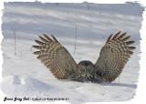 20130122 311 SERIES -  Great Gray Owl.jpg