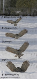 20130122 307 - 311 Great Gray Owl3 1r1.jpg