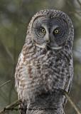 20130122 209 Great Gray Owl.jpg