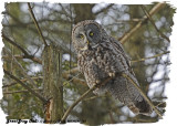 20130122 153 Great Gray Owl.jpg
