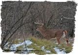 20121207 134 White-tailed Deer2.jpg