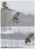 20130119 009 010 011 Great Gray Owl 1r1.jpg