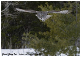 20130128 025 SERIES - Great Gray Owl.jpg