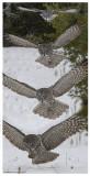 20130128 025 026 027  028 Great Gray Owl 1r2.jpg