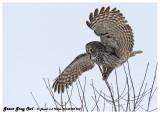 20130128 268 Great Gray Owl 1r2.jpg