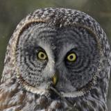 20130122 209 Great Gray Owl x.jpg