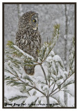 20130119 122 Great Gray Owl.jpg