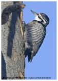 20130206 236 Black-backed Woodpecker.jpg
