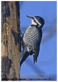 20130206 150 Black-backed Woodpecker.jpg