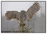 20130128 296 Great Gray Owl5 1r2.jpg